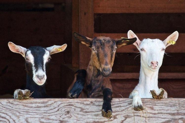 breeding domestic goats